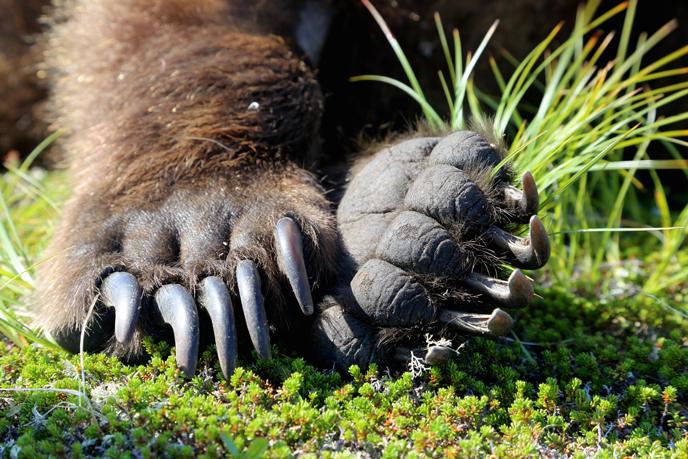 Bear-Paws-Katmai