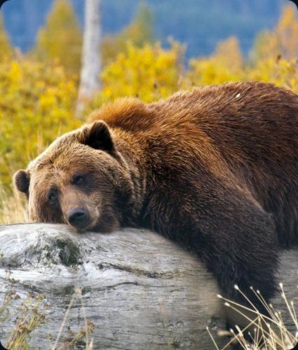 Bear and Tree at Katmai